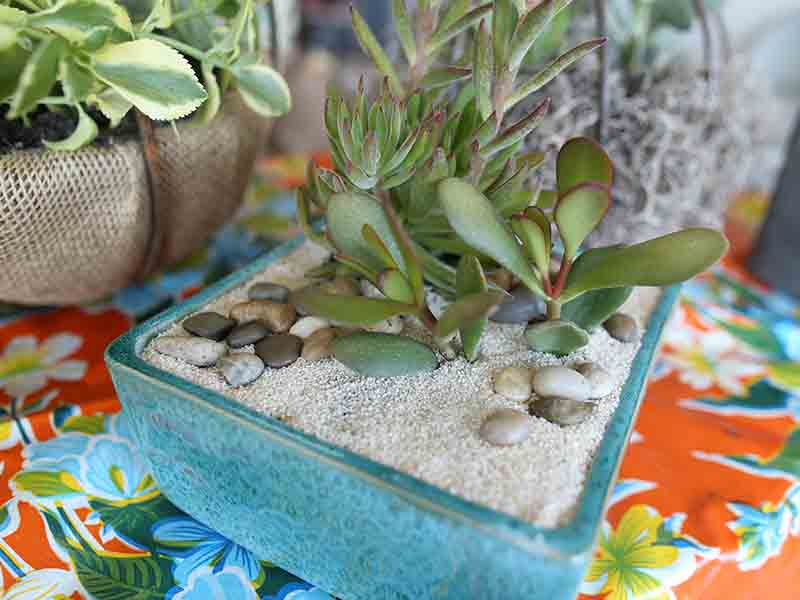 Annual Succulents Featuring Dish Gardens