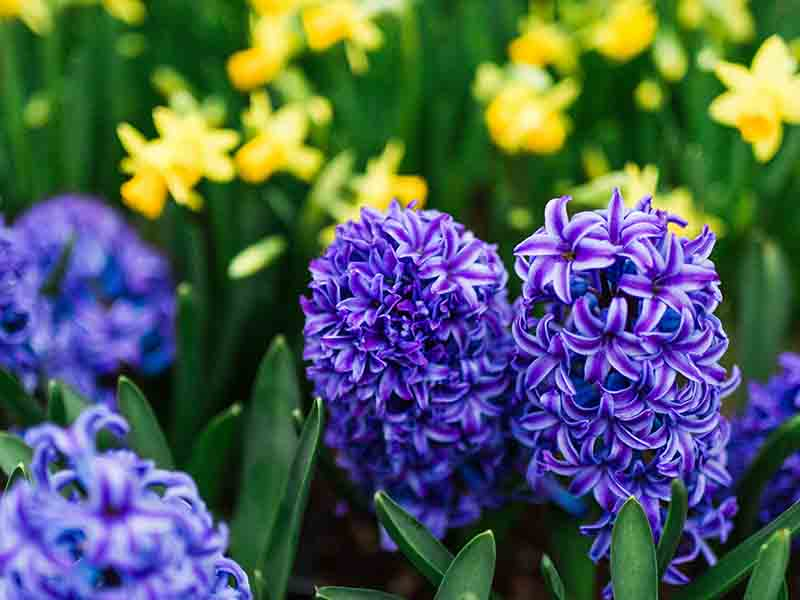 Fall Bulbs: Tulips, Daffodils & More