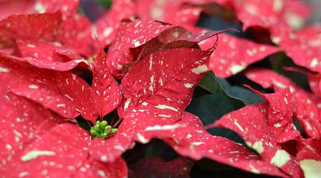 Winter Houseplant Care: Featuring Seasonal Décor Plants